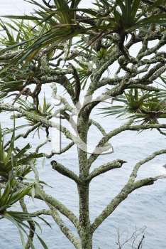Royalty Free Photo of a Lahala Tree by the Water in Maui, Hawaii, USA