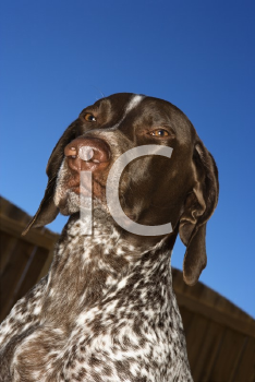 Royalty Free Photo of a German Short-haired Pointer Against a Blue Sky