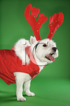 White terrier dog dressed in red coat wearing antlers.