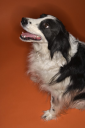 Royalty Free Photo of a Black and White Border Collie Dog Sitting