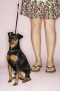 Royalty Free Photo of a Woman's Legs With a Miniature Pinscher Dog on a Leash