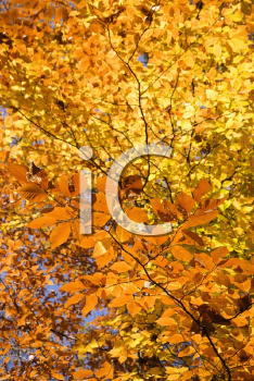 Royalty Free Photo of a Close-up of American Beech Tree Branches Covered With Brightly Colored Fall Leaves