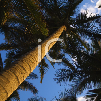 Royalty Free Photo of a Palm Tree