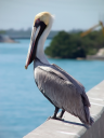 Pelican on a Bridge on the Florida Keys