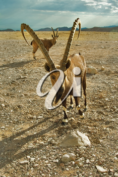 Royalty Free Photo of Wild Goats in Israel