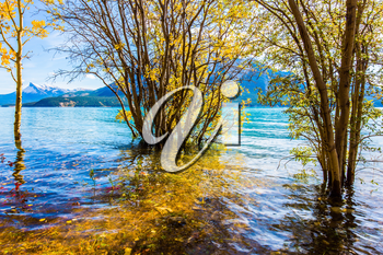 Journey to the Golden Autumn in Rocky Mountains. The flooded coastal gold birchwoods. Magnificent turquoise Abraham Lake in a flood. The concept of ecological and active tourism