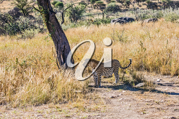 The concept of exotic and extreme tourism.  Magnificent spotted african leopard in Namibia