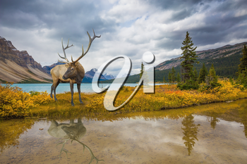 The lush colorful Golden Autumn in the Rocky Mountains of Canada. Wonderful antlered deer on the shore of cold lake