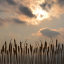 Bulrush silhouette against cloudy sky
