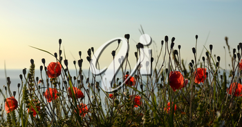 Red poppies  on the shore of the sea in the moorning