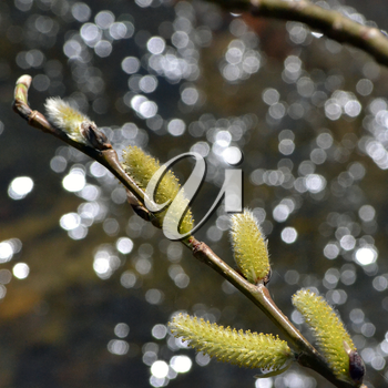 Spring willow branch with buds and catkins