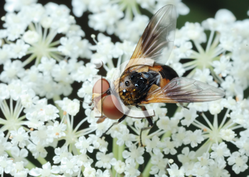 Royalty Free Photo of a Fly Tachina on a White Flower