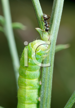 Royalty Free Photo of a Caterpillar and Ant on a Stem