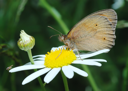 Royalty Free Photo of a Brown Butterfly on a Flower