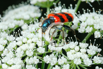 Royalty Free Photo of a Beetle on a Flower