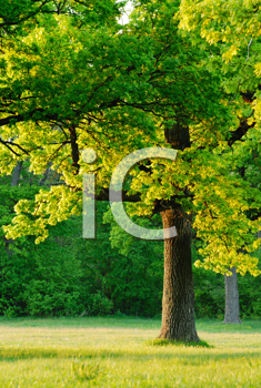 Royalty Free Photo of a Oak Trees in the Sun