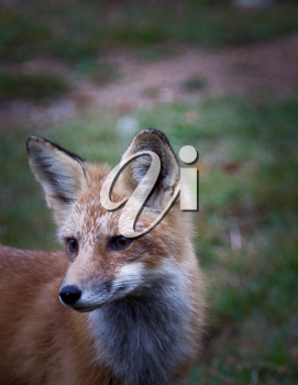 Red North American fox cub, grass background
