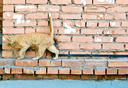 Red cat on a wall looking forward into the way.