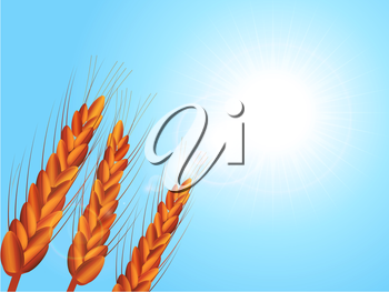 Wheat Crop Close Up Over Sunny Blue Sky with Lens Flares Background
