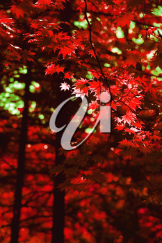 Autumn forest with red maple leaves background