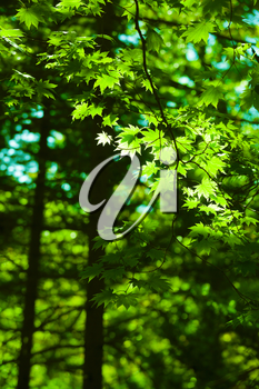 Green maple leaves forest background wih bright sunlight