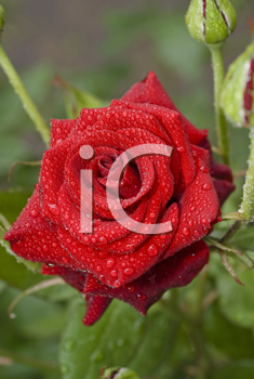 Beautiful rose with water drops in the garden