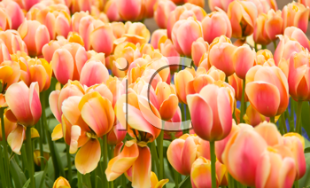 Pink and yellow Dutch tulips flowerbed in Keukenhof park in Holland