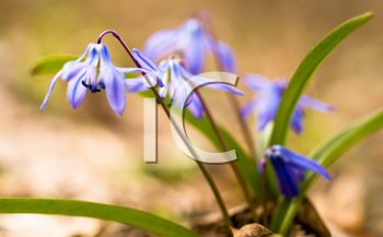 Spring time: Squill flowers. Macro with shallow DOF