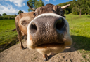 Curious funny cow on the meadow. Wide-angle shot