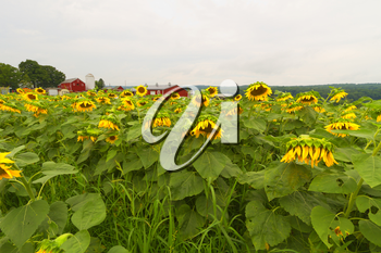 Sunflowers blooming in the farm fields.