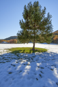 Beautiful christmas tree growing on the field, surrounded by snow.