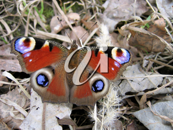 Beautiful butterfly on dry foliage