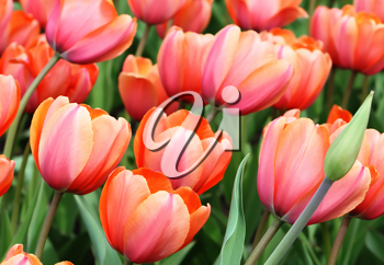 close up of beautiful tulips