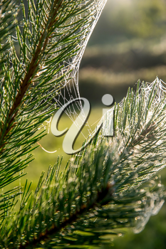 Spider web on the pine tree on green forest background.. Cobweb. Spider web is web made by spider. Spider net in nature.