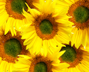 Colorful background from flower of the sunflower