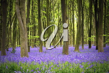 Royalty Free Photo of a Carpet of Bluebell Flowers