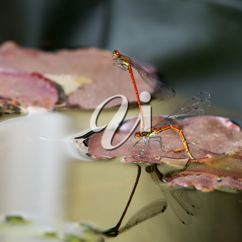 A pair of red damselflies mating on a lily pad