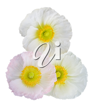 white and pink poppies isolated on white background