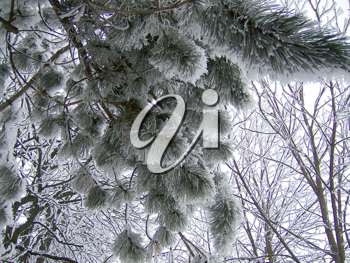 Royalty Free Photo of a Pine Branch Covered in Snow