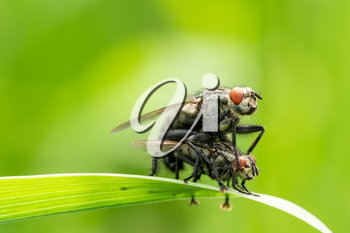 Flies mating with close-up detailed view
