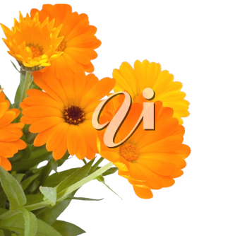 Calendula flowers on white background