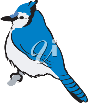 Illustration of blue jay