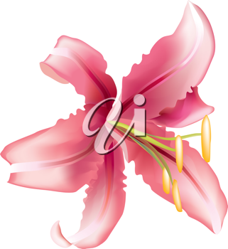 Royalty Free Clipart Image of a Lily