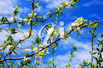 Branches of plum blossoms against the blue sky and white clouds