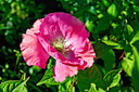 Pink large poppy on a background of green foliage