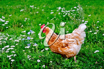 Brown chicken on a background of green grass and flowers