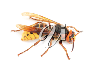 Royalty Free Photo of a Wasp