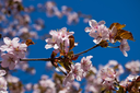 Beautiful pink flowers of Cherry blossom or Japanese Sakura in spring bloom