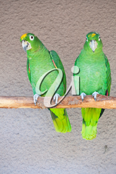Cute green parrots sitting on wooden stick