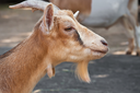 Nice close-up portrait of cute baby goat